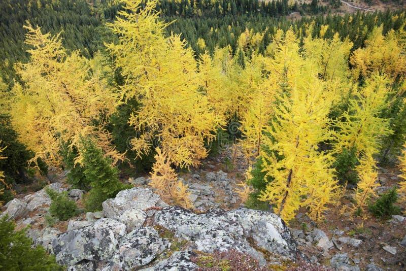 Alberi di larice che ingialliscono nella foresta immagini stock