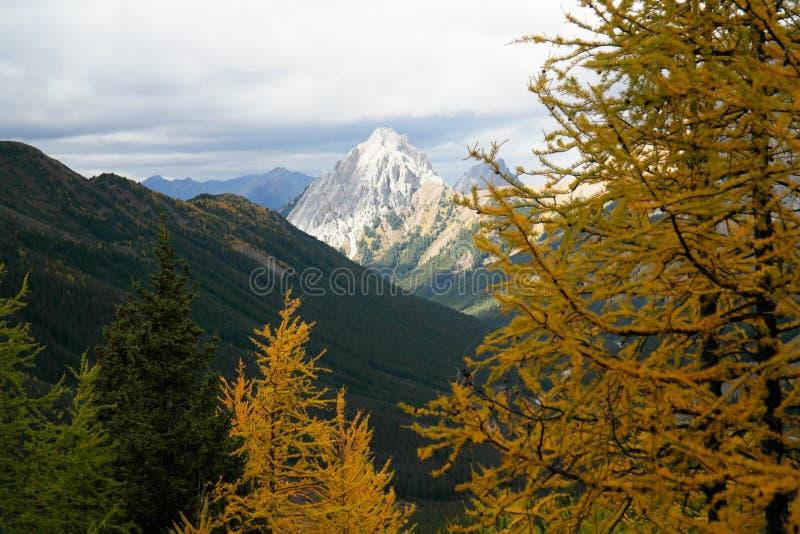 Alberi di larice per Autumn Color fotografie stock libere da diritti