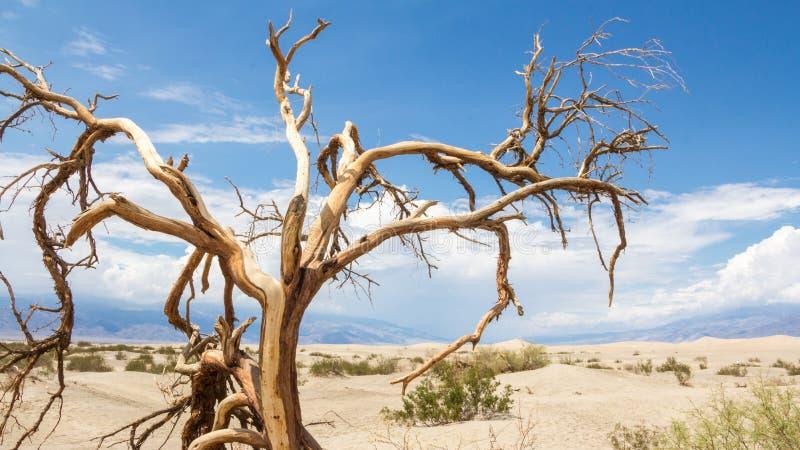 Alberi di morte nel parco nazionale di Death Valley immagini stock