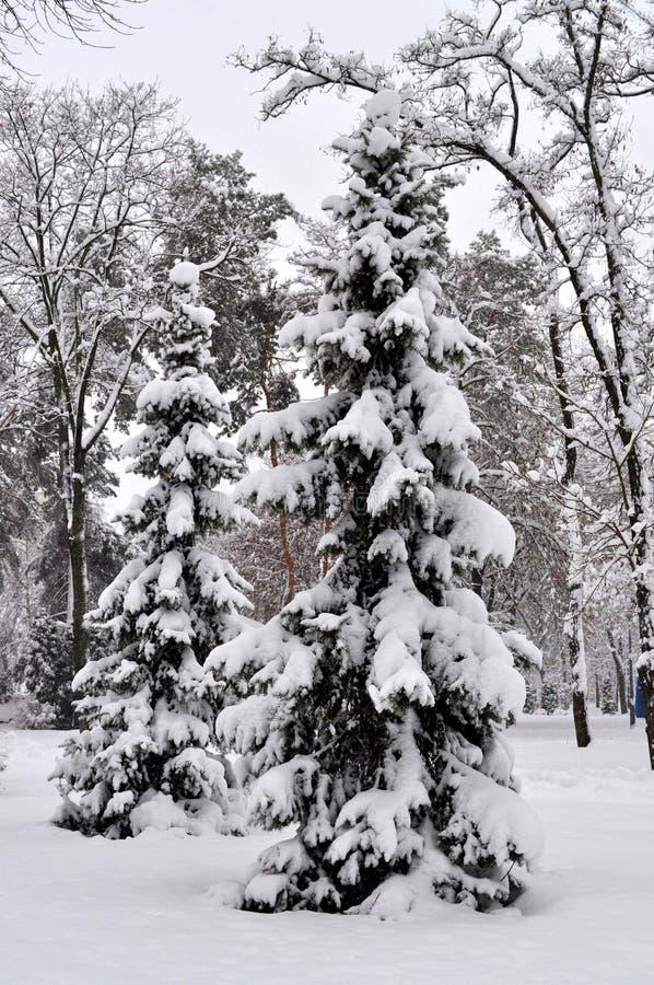 Alberi di Natale nella foresta nella neve un giorno di inverno luminoso immagini stock libere da diritti