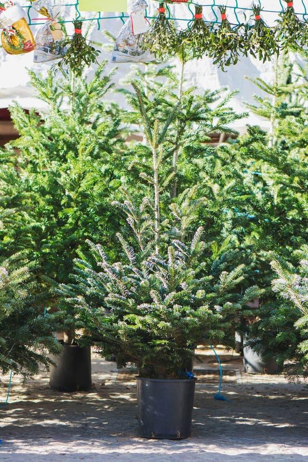 Alberi di Natale in vasi da vendere immagini stock libere da diritti