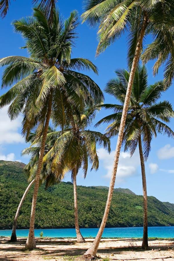 Alberi di noce di cocco sulla spiaggia immagini stock libere da diritti