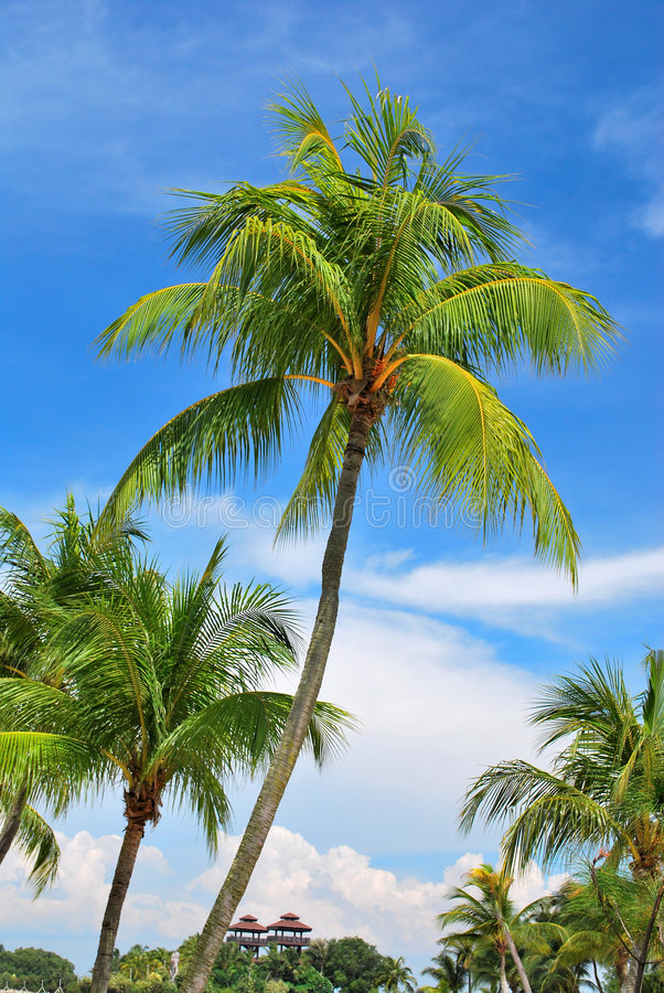 Alberi di noce di cocco tropicali immagine stock libera da diritti