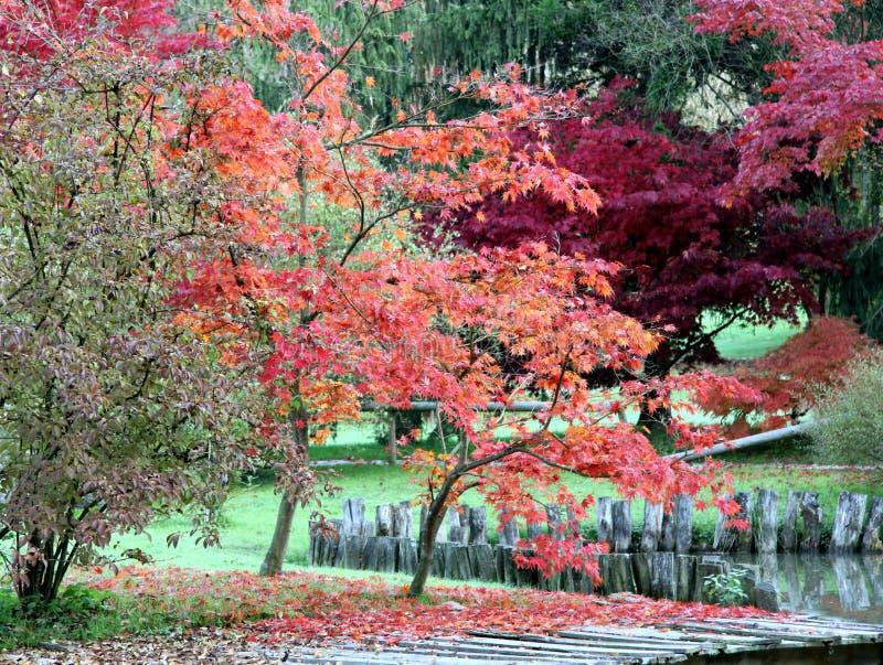 Alberi di palmatum di Acer fotografia stock