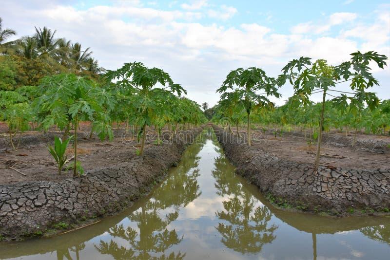 Alberi di papaia con i canali fotografia stock libera da diritti