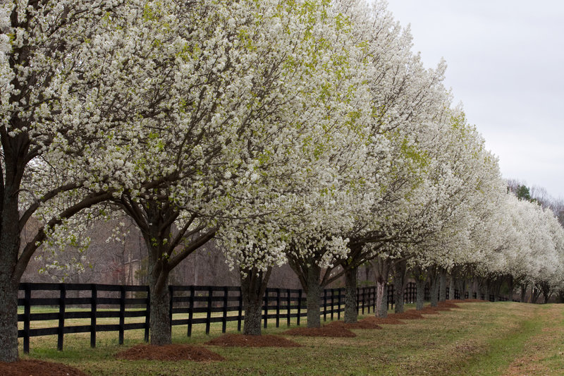 Alberi di pera di Bradford in fioritura fotografia stock libera da diritti