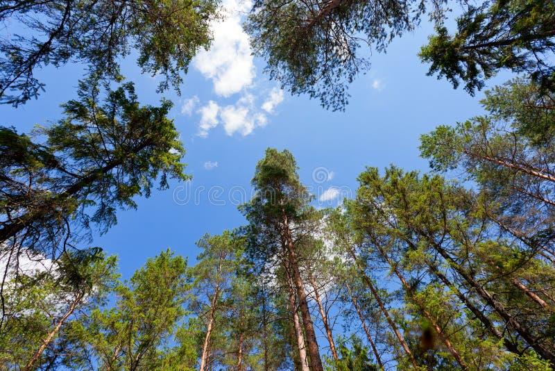 Alberi di pino alti fotografia stock libera da diritti
