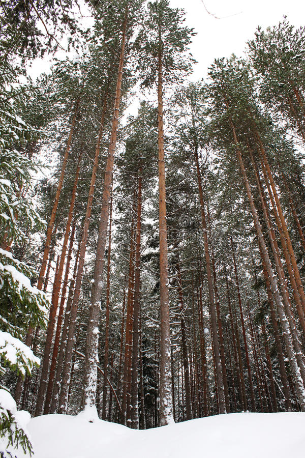 Alberi di pino alti in inverno fotografia stock libera da diritti