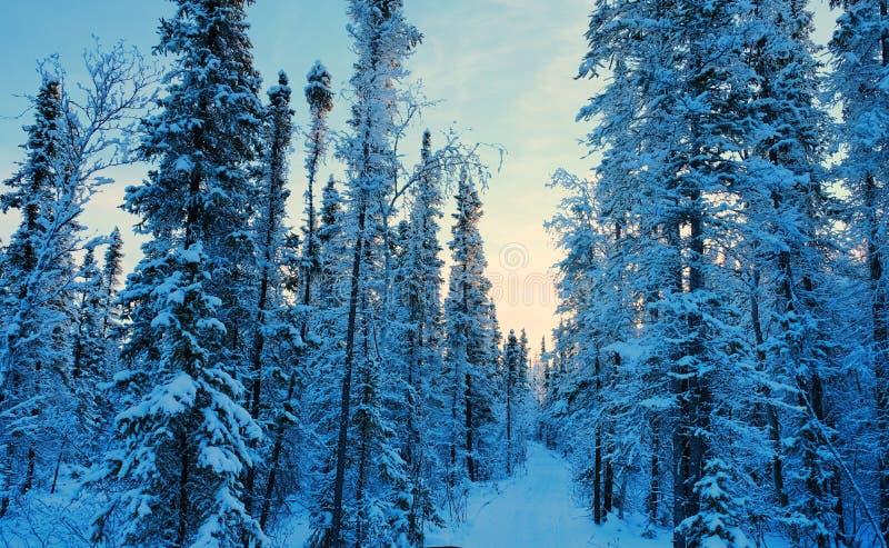 Alberi di pino coperti da neve immagini stock libere da diritti