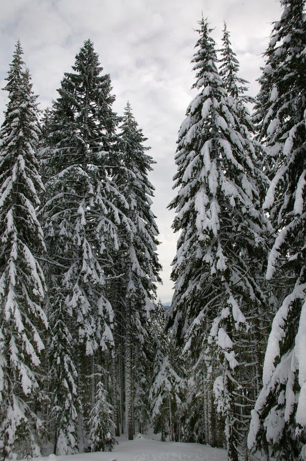 Alberi di pino dello Snowy fotografia stock