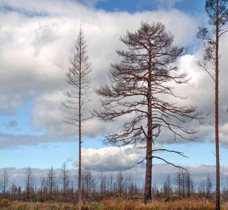 Alberi di pino dopo incendio forestale fotografie stock