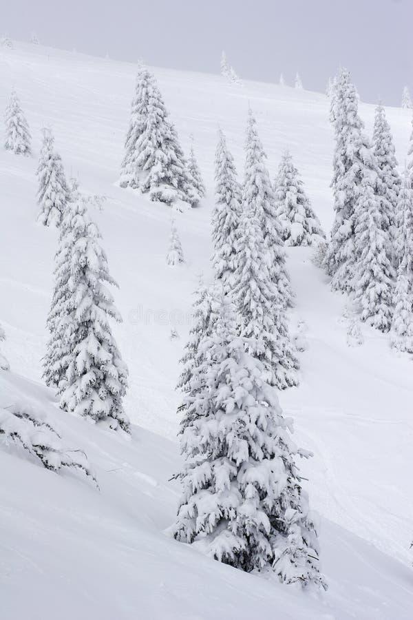 Alberi di pino innevati in montagne fotografie stock