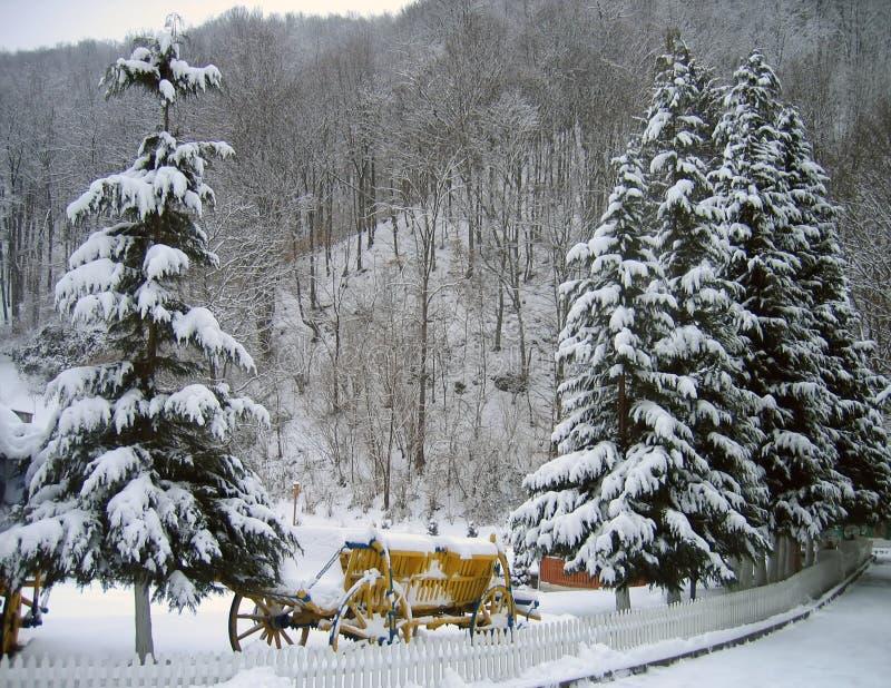Alberi di pino in inverno immagine stock libera da diritti