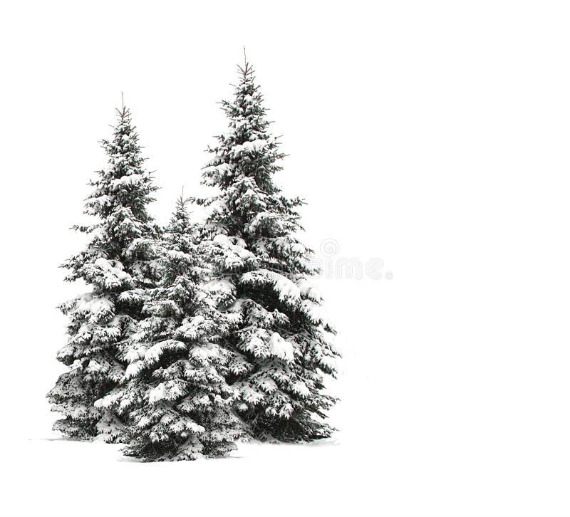 Alberi di pino isolati su bianco fotografia stock