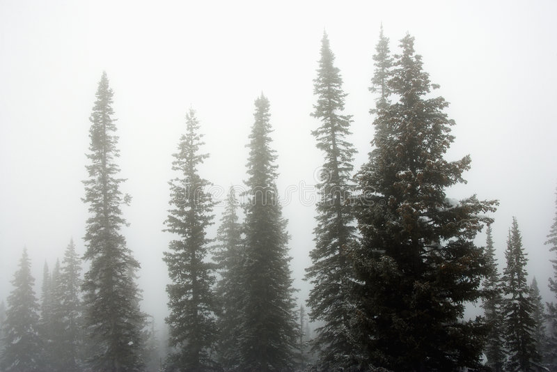 Alberi di pino in nebbia. immagini stock libere da diritti