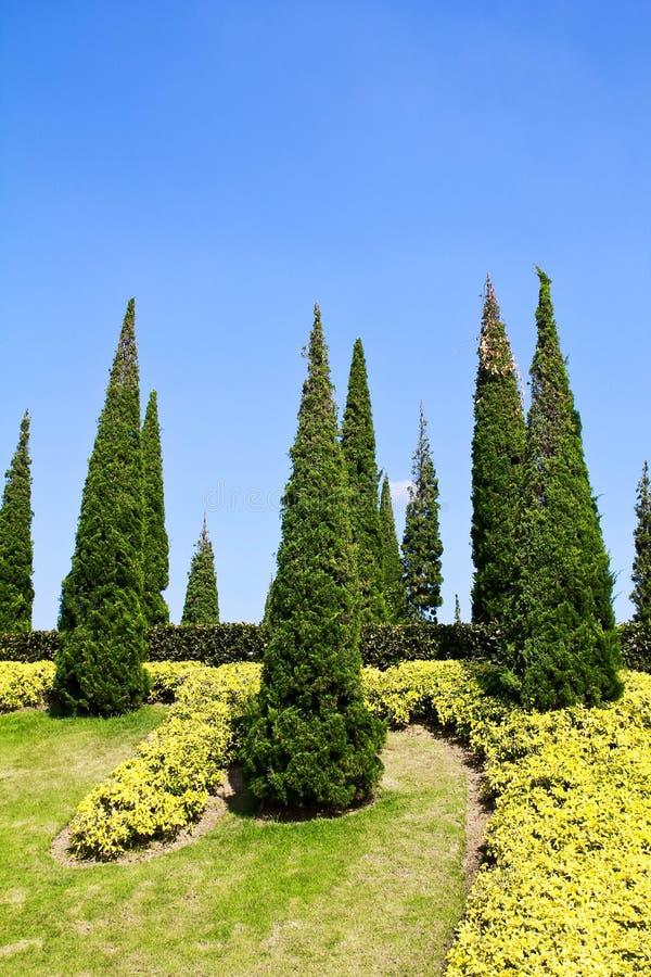 Alberi di pino nel giardino. fotografia stock