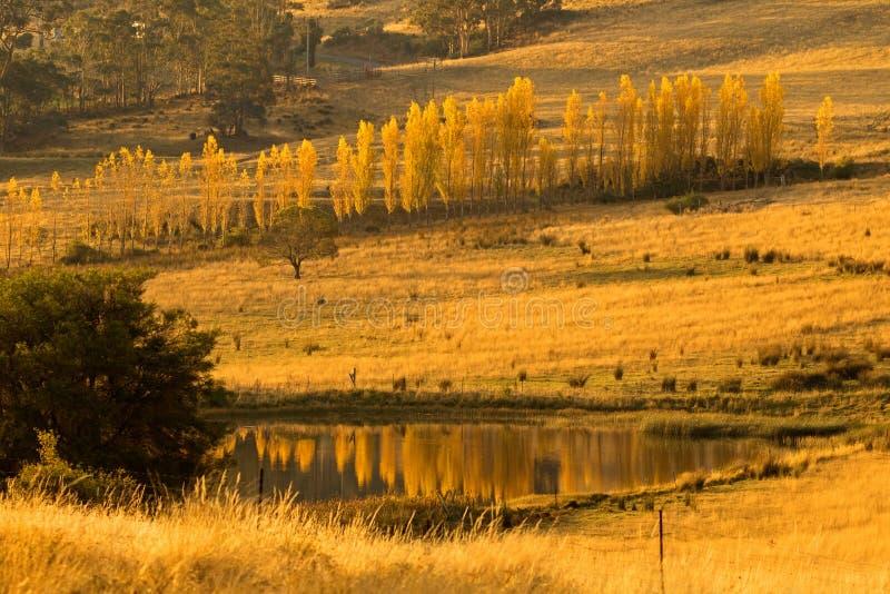 Alberi di pioppo alti e sottili che si girano verso il colore giallo dorato di autunno fotografia stock