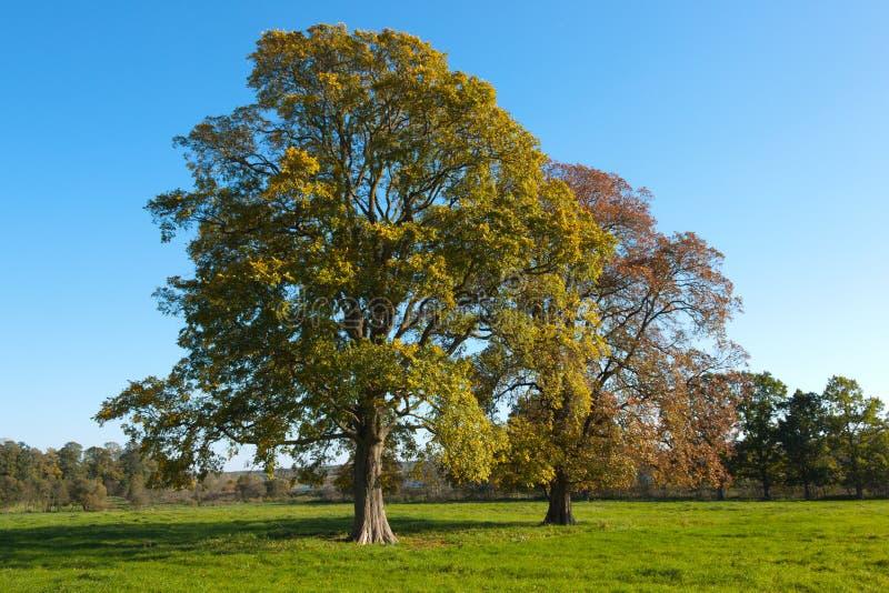 Alberi di quercia in autunno immagini stock libere da diritti