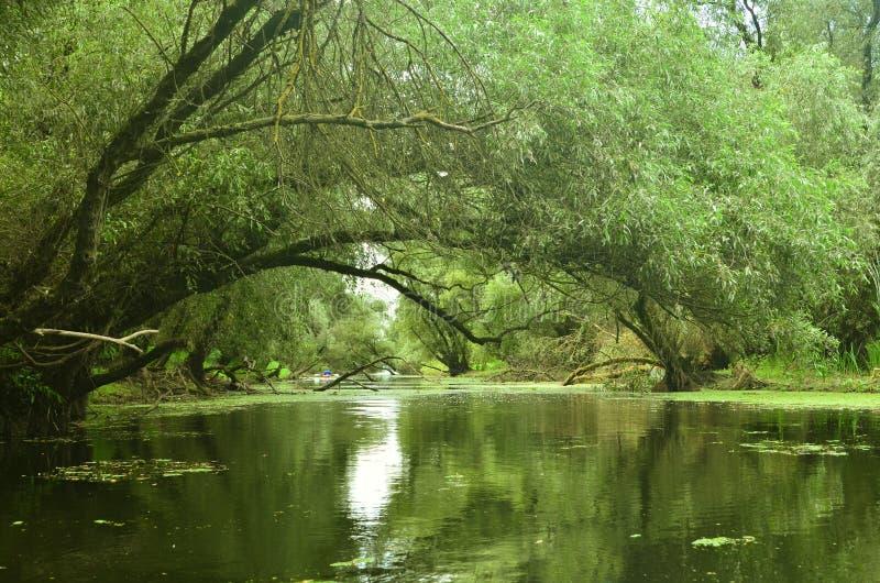 Alberi di salice inclinati sopra acqua immagini stock libere da diritti