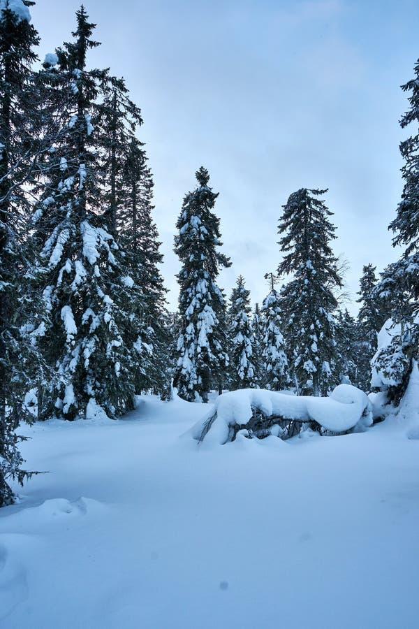 Alberi di Snowy e momento blu immagine stock