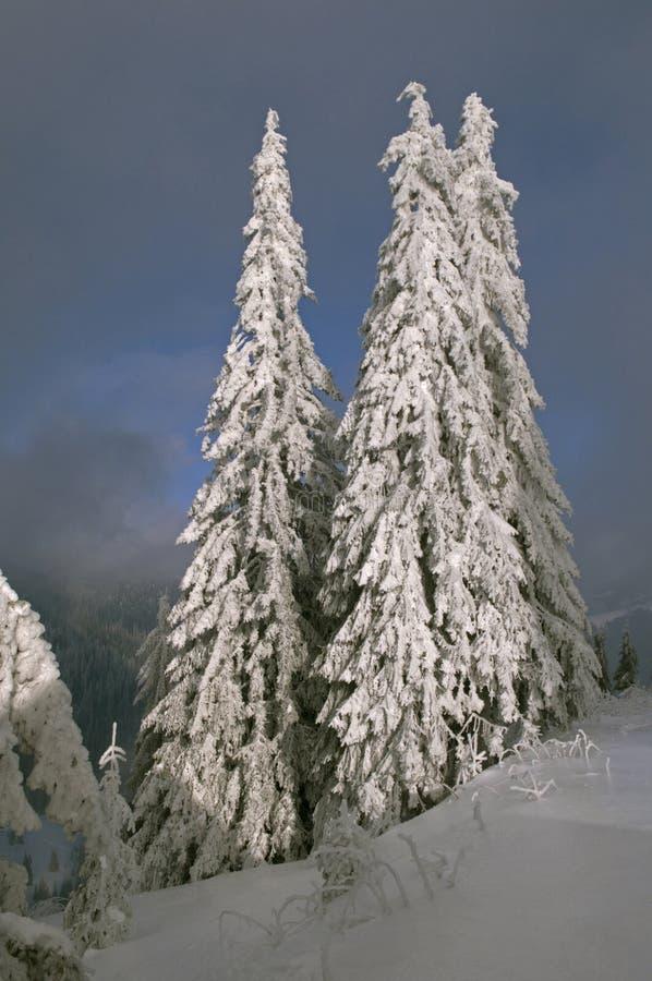 Alberi di Wintered sulla collina fotografia stock