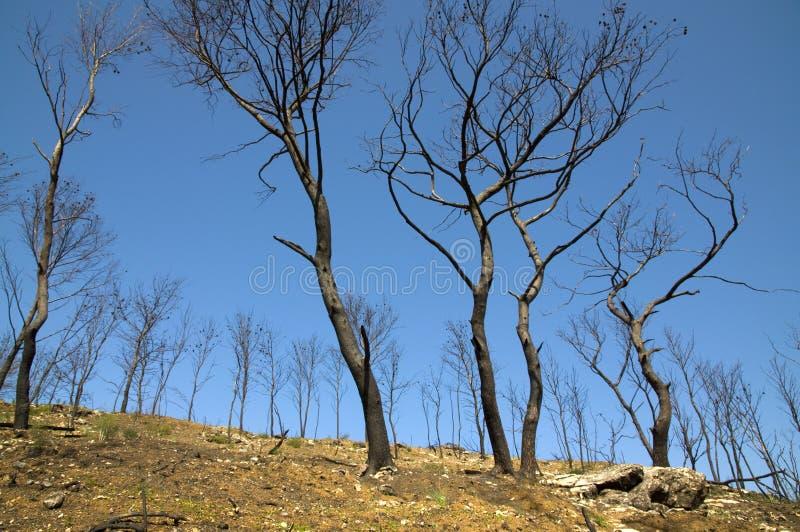 Alberi dopo fuoco fotografie stock libere da diritti