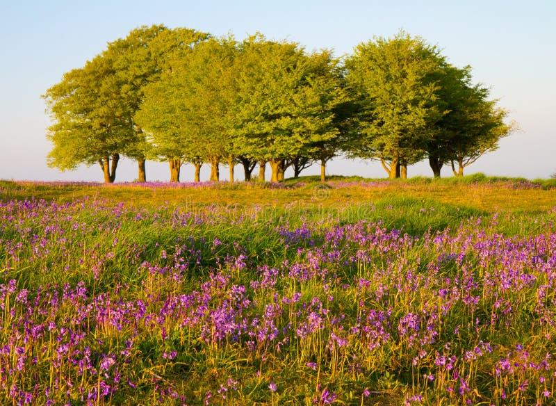 Alberi e bluebells di faggio sulle colline di Quantock fotografie stock libere da diritti