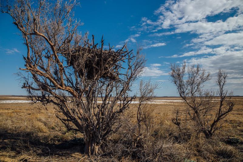 Alberi e cespugli di saxaul nel deserto fotografie stock