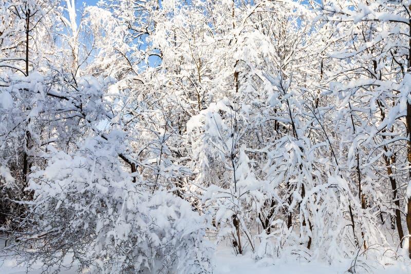alberi e cespugli nevosi in Forest Park nell'inverno fotografia stock libera da diritti