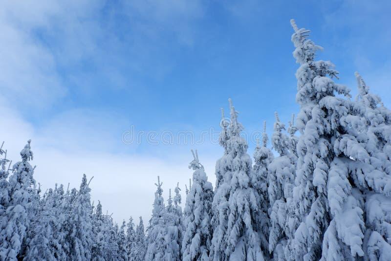 Alberi e cielo blu di pino dello Snowy immagini stock