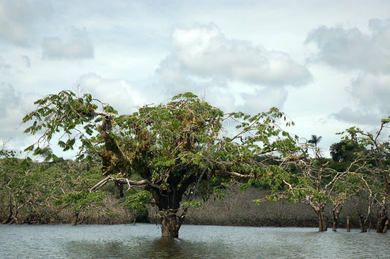 Alberi fatti galleggiare, Ecuador. fotografia stock libera da diritti