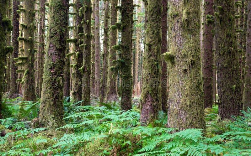 Alberi Fern Groundcover di Hoh Rainforest Spruce Hemlock Cedar fotografia stock libera da diritti