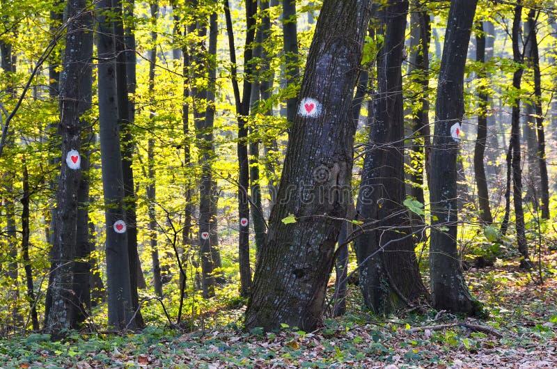 Alberi in foresta segnata con i cuori immagine stock libera da diritti