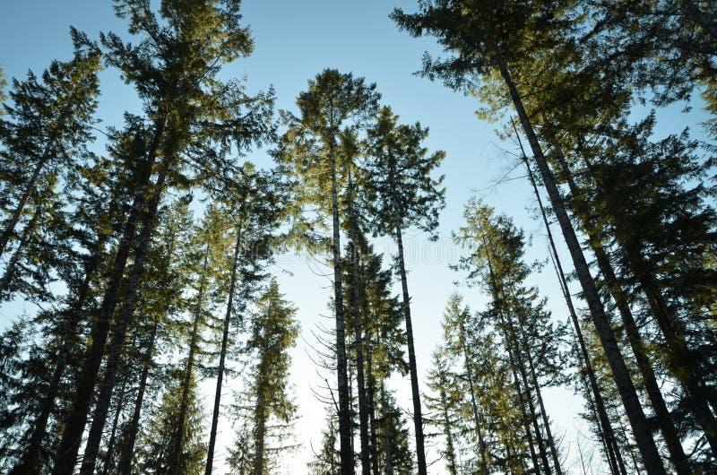 Alberi forestali alla luce del sole fotografia stock