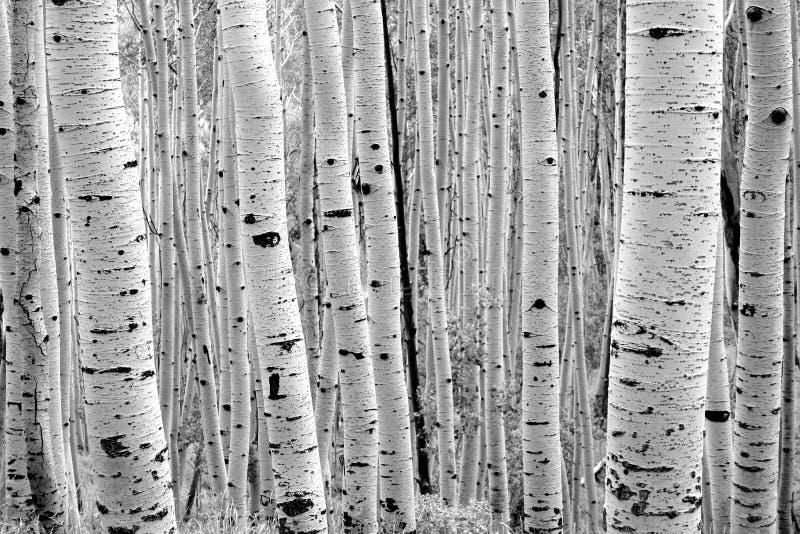 alberi forestali alpini della tremula Utah immagini stock