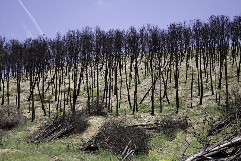 Alberi forestali bruciati immagine stock libera da diritti