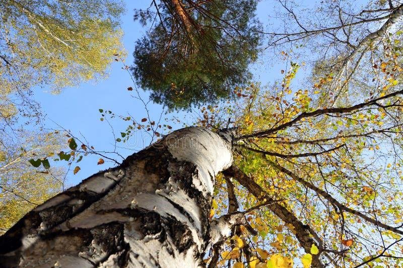 Alberi forestali di autunno sul fondo del cielo blu Vista degli alberi di autunno qui sotto immagine stock