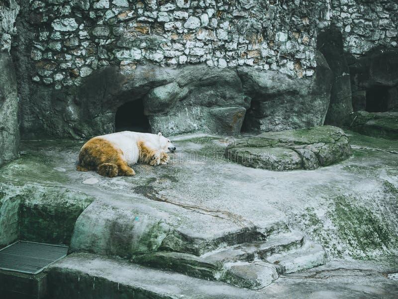 Alberi forestali di menzogne del castello dell'orso bianco polare fotografia stock libera da diritti