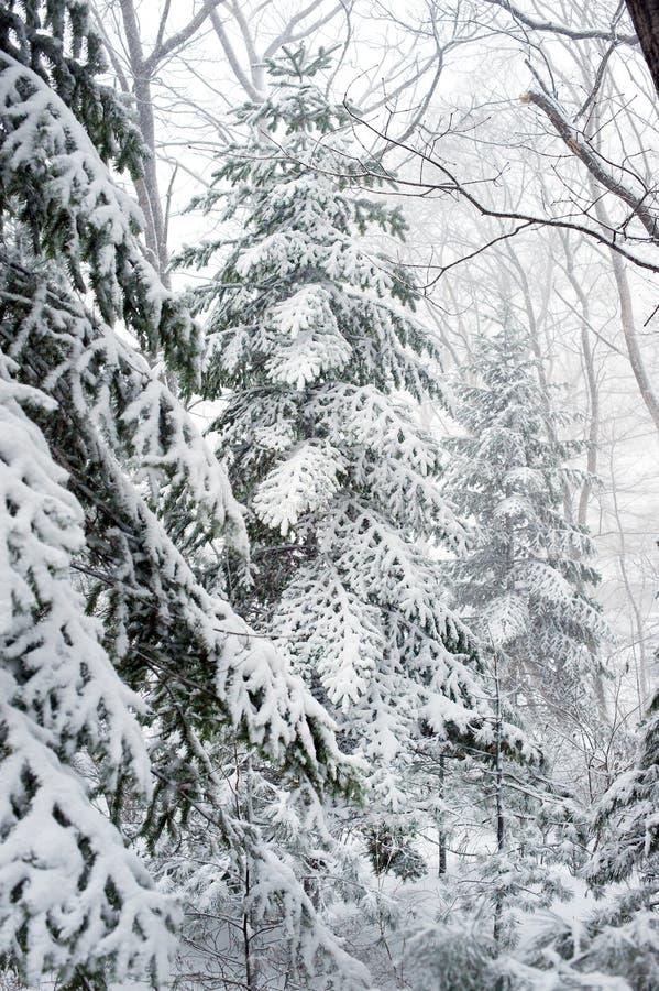 Alberi forestali di taiga di inverno nell'ambito delle precipitazioni nevose immagine stock