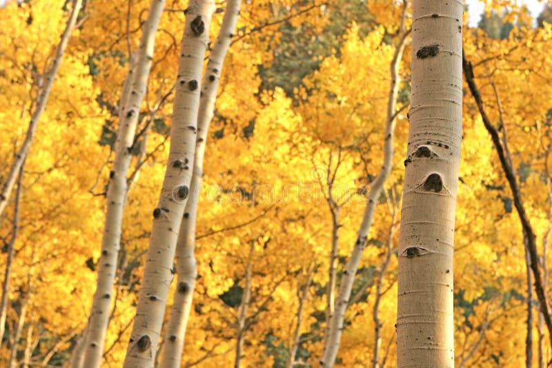 Alberi gialli dell'Aspen immagini stock libere da diritti
