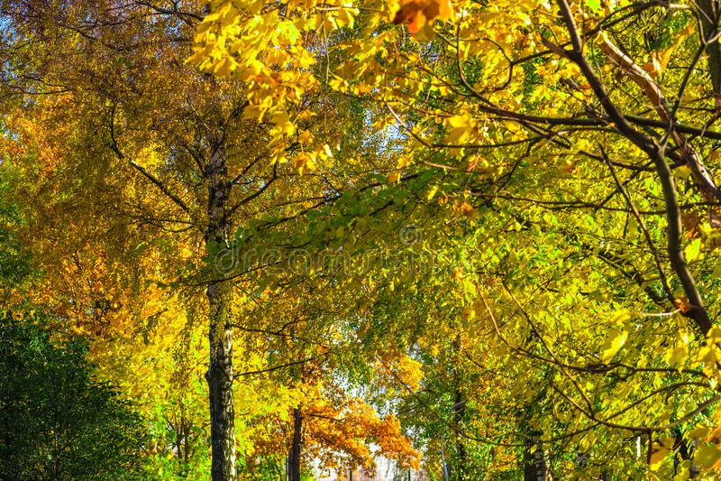 Alberi gialli di autunno fotografia stock libera da diritti