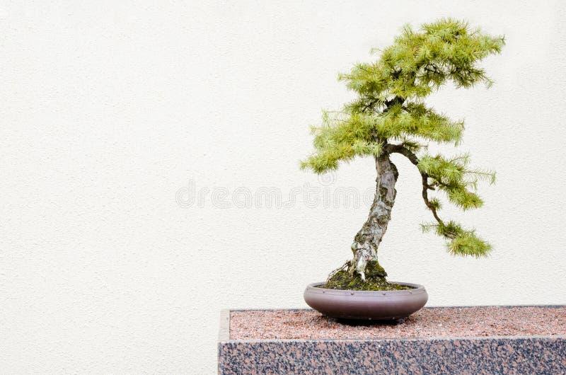 Alberi giapponesi dei bonsai del larice (larix kaempferi) immagine stock