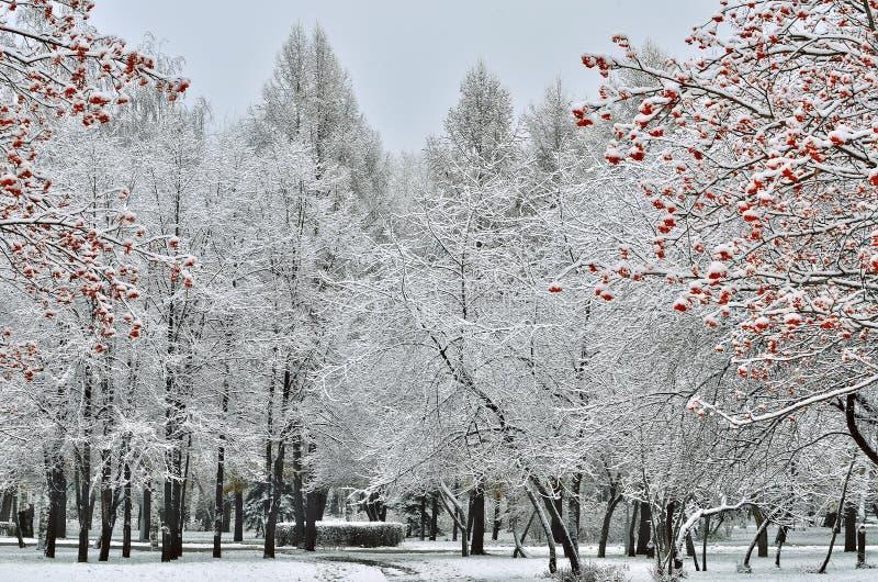 Alberi innevati del parco e della sorba della città con le bacche rosse fotografia stock