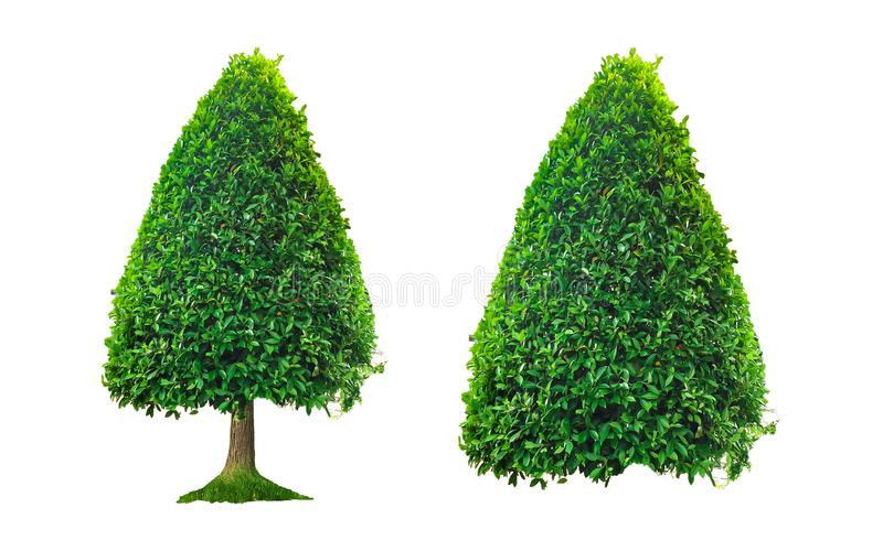 Alberi isolati su fondo bianco e belle foglie verdi fotografia stock libera da diritti