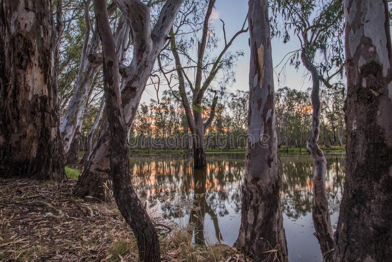 Alberi in lago Mulwala Australia immagine stock libera da diritti