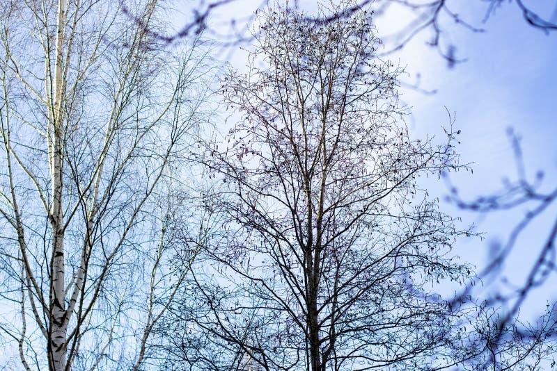 Alberi in molla in anticipo, rami senza foglie immagine stock libera da diritti