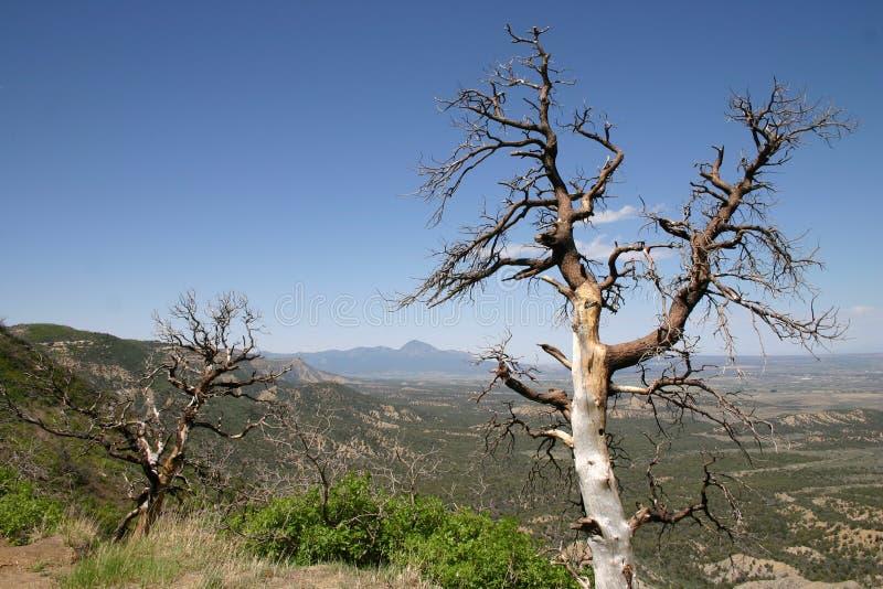 Alberi morti in Colorado fotografia stock