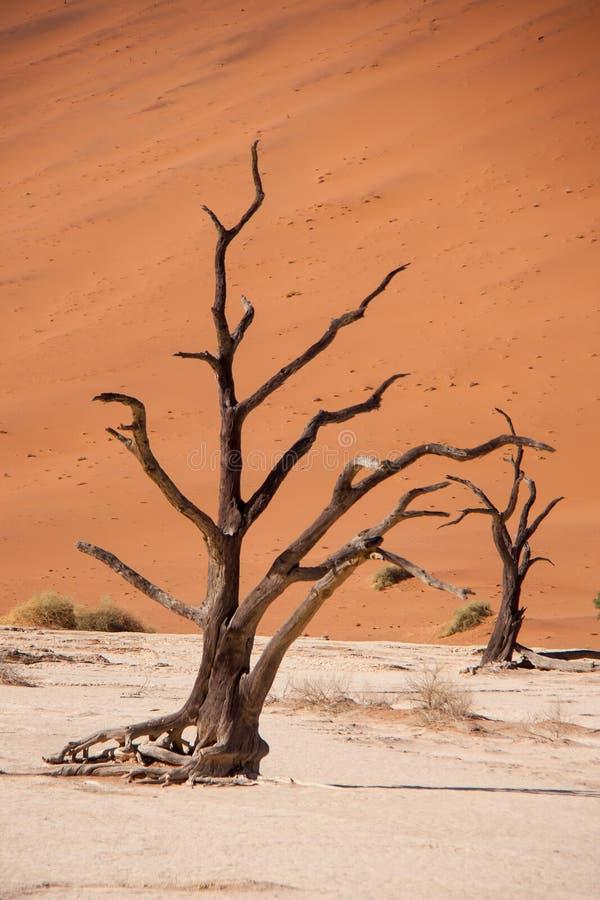 Alberi morti in Deadvlei, deserto di Namib, Namibia fotografia stock libera da diritti