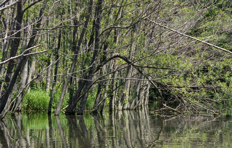 Alberi morti in terreno boscoso sommerso fotografie stock