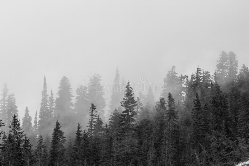 Alberi nebbiosi in bianco e nero fotografia stock